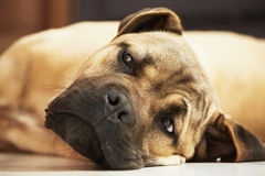 Dog puppy in home Stock Photos