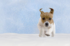 Dog, puppy, jack russel terrier playing in the snow. With blue sky royalty free stock photo