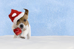 Dog, puppy, Jack Russel Terrier with santa hat jumping in the sn Stock Photo