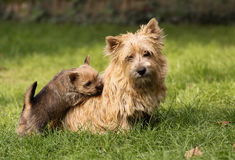 Dog puppy and mum Stock Photo