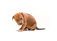 Dog puppy no.3 Royalty Free Stock Image