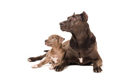 Dog and puppy pitbulls Royalty Free Stock Images