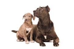 Dog and puppy pitbulls. Together isolated on white background Royalty Free Stock Photography