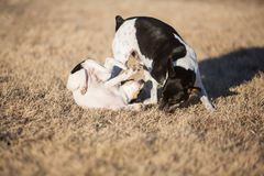 Dog and puppy playing royalty free stock photo