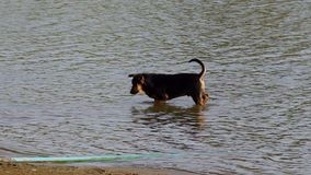 Dog and puppy playing in water stock video footage