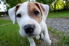 Little amstaff puppy is looking lens. royalty free stock image