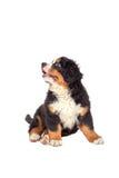 Dog puppy sitting Stock Photo