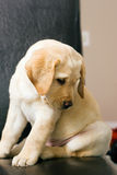 Dog puppy sitting in chair Royalty Free Stock Photo