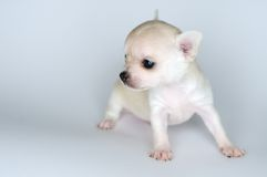 Dog puppy small chihuahua against white background Stock Photos