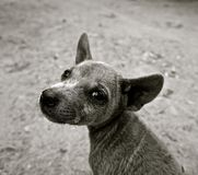 Dog, Puppy, Small Dog, Young Dog Royalty Free Stock Image