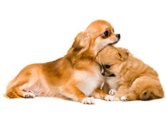 Dog and puppy in studio Stock Photos