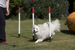 Dog puppy in weave poles. White Japanese Spitz in weave poles having private training for an agility sport competition Royalty Free Stock Photos