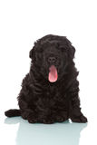Dog puppy on white background Royalty Free Stock Image