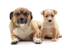 Dog and puppy. Dog and puppy on a white background Royalty Free Stock Images