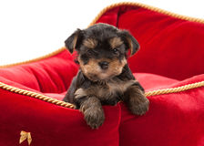 Dog. Puppy of the Yorkshire Terrier on white background Royalty Free Stock Photo