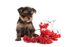 Dog. Puppy of the Yorkshire Terrier on white background Royalty Free Stock Photos