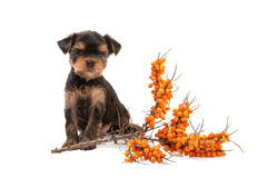 Dog. Puppy of the Yorkshire Terrier on white background Stock Photography