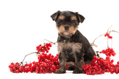 Dog. Puppy of the Yorkshire Terrier on white background Royalty Free Stock Photography