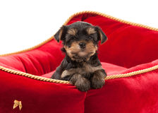 Dog. Puppy of the Yorkshire Terrier on white background Stock Image