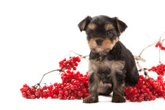 Dog. Puppy of the Yorkshire Terrier on white background Royalty Free Stock Image