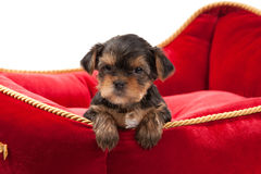 Dog. Puppy of the Yorkshire Terrier on white background Royalty Free Stock Images