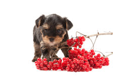 Dog. Puppy of the Yorkshire Terrier on white background Stock Images