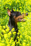 Dog purebred Doberman Stock Images