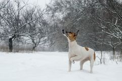 Dog purebred fox terrier on the hunt in the woods looking up, snowfall. Dog purebred fox terrier on the hunt in the woods looking up, snowfall Royalty Free Stock Images