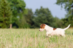 The dog purebred puppy jack russel terrier walks around a summer meadow. The dog purebred puppy jack russel terrier walks around summer meadow stock photography