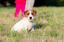 The dog purebred puppy jack russel terrier walks around a summer meadow. The dog purebred puppy jack russel terrier walks around summer meadow royalty free stock images