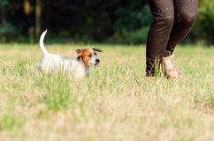 The dog purebred puppy jack russel terrier walks around a summer meadow. The dog purebred puppy jack russel terrier walks around summer meadow stock photo