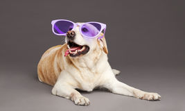 Dog with Purple Glasses at Studio Stock Photo