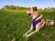 Dog in Purple Harness Laying in Green Grass Lawn royalty free stock photos