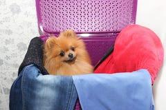 Dog in a purple laundry basket. Pomeranian dog in a basket on white background. Isolated dog and laundry basket Royalty Free Stock Image