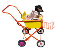 Dog in Pushchair. Isolated with clipping path Royalty Free Stock Photography