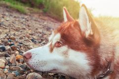 Dog put his head on the ground and looks forward. Red Siberian husky resting on a rocky shore near the water. Side view. Dog put his head on the ground and looks royalty free stock photos