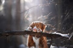 The dog put his paws on the stick. Nice little face. The dog put his paws on the stick. Pet in the forest Stock Photography