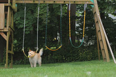 Dog putting ball on swings. Dog places ball on the swingset in backyard Royalty Free Stock Image