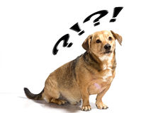 Dog puzzled. A little brown dog puzzled Stock Images