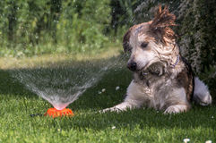 Dog puzzled by sprinkler Royalty Free Stock Images