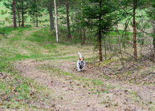 Dog quickly running through forest by spring country road Royalty Free Stock Photo