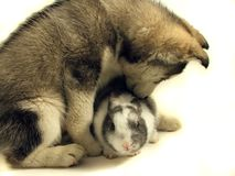 Dog and rabbit. Siberian husky and undersized rabbit on white Royalty Free Stock Images