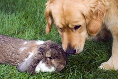 Dog and rabbit royalty free stock photo