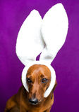 Dog with rabbit ears Royalty Free Stock Images