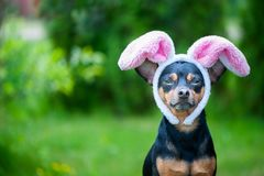 Dog with rabbit ears, theme of masquerade, Easter. Natural green. Background, space for text Stock Photos