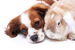 Dog and rabbit together. Animal friends. Sibling rivalry rabbit bunny pet white fox rex satin real live lop widder nhd Stock Photos