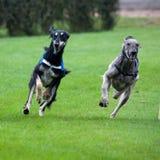 Dog race afghan stock photos