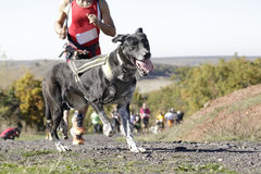 Dog in a race (canicross) Stock Photo