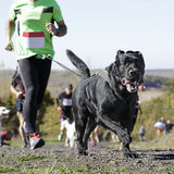 Dog in a race (canicross) Stock Images