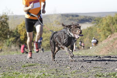Dog in a race (canicross) Stock Photography